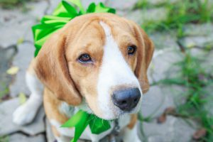 Beagle dog present with big green bow