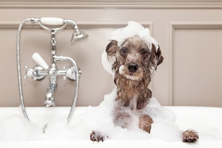 Pinscherhundens pälsvård